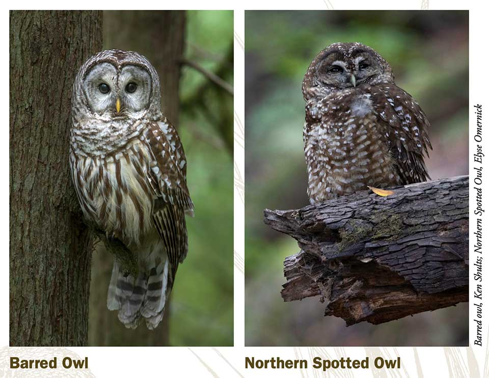 Barred owl vs Northern Spotted owl