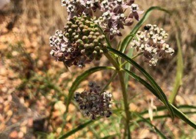 Narrowleaf milkweed (Asclepias fascicularis) in bloom