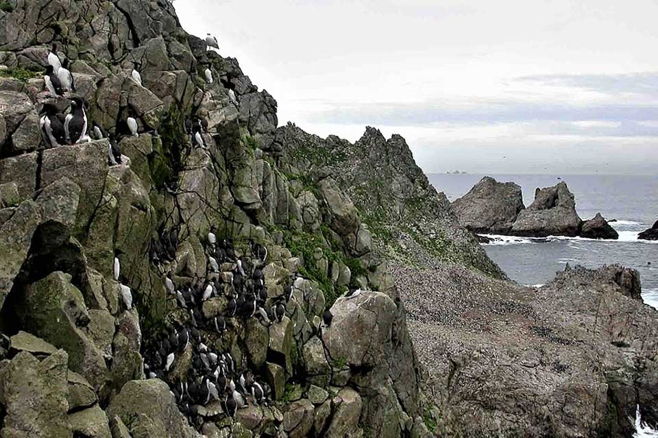 Farallones Murre colony - Photo by Duncan Wright CCA 3.0